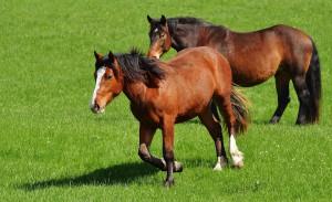 cavallli