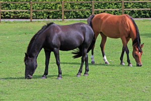 horses-per arterite virale