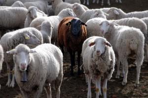 pecore per il sito 3