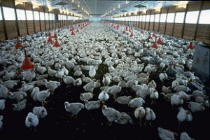 pollame vario