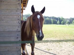 Muso di cavallo