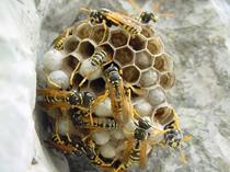 nido vespa comune