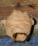nido vespa crabro