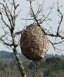 nido vespa velutina
